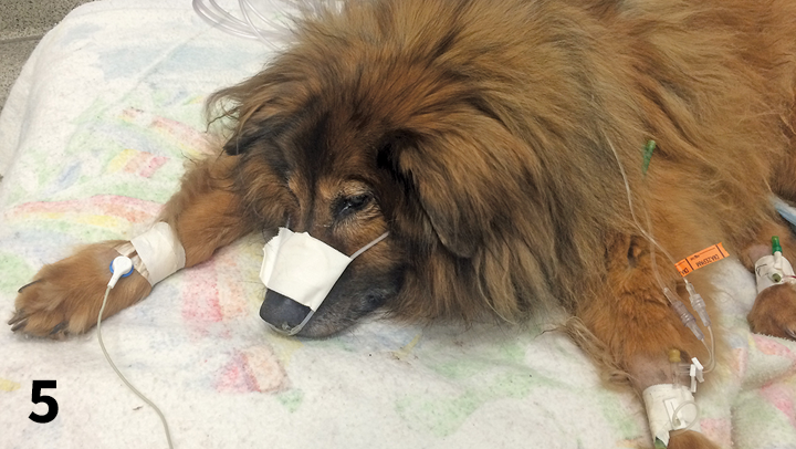 A dog with aspiration pneumonia receives oxygen supplementation via nasal prongs.
