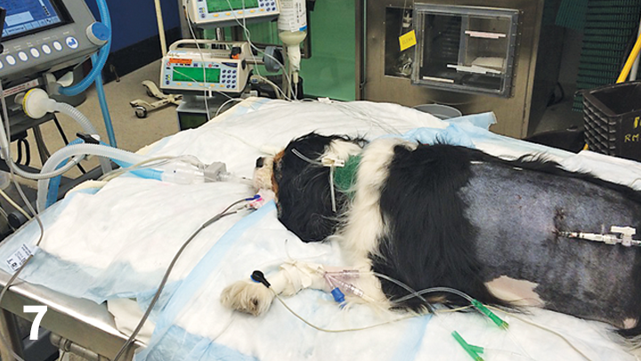 After being hit by a car, a Cavalier King Charles spaniel is intubated for mechanical ventilation because of severe pulmonary parenchymal disease.