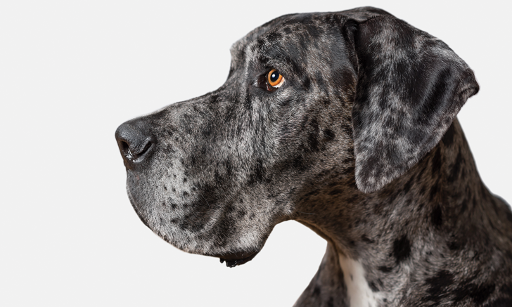Age of Neutering in Large- & Giant-Breed Dogs