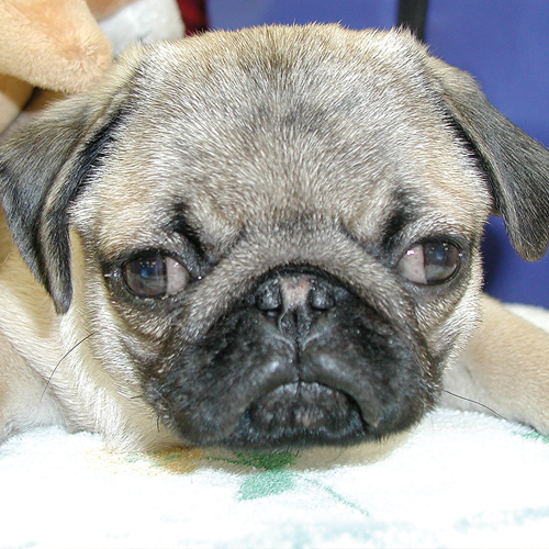 Pug with divergent strabismus caused by congenital hydrocephalus