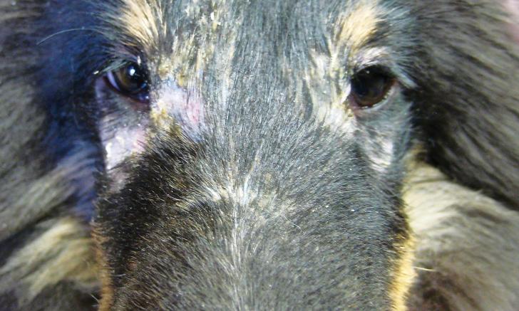 Canine Dermatomyositis