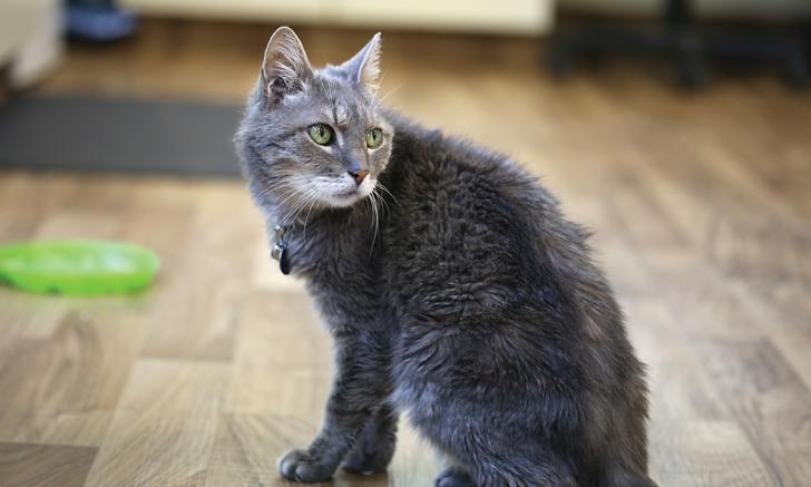Diagnosing Feline Hyperthyroidism
