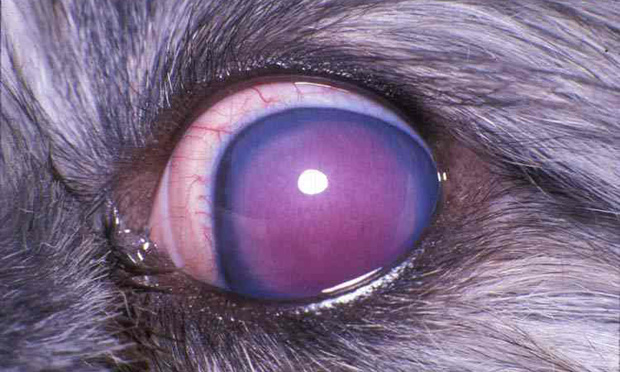 Subconjunctival Enucleation Surgery in Dogs & Cats