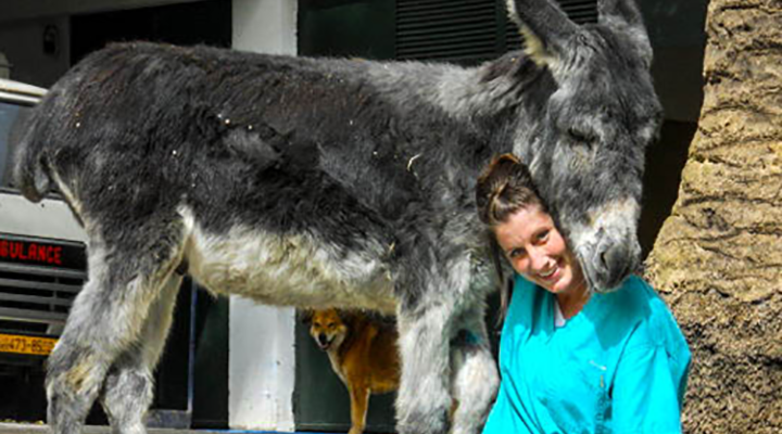 Mushkill was the resident donkey at the American Fondouk in Fes, Morocco, during the author's fourth-year veterinary externship, and always part of the action. Photos courtesy of Shannon Mesenhowski, DVM, MPH