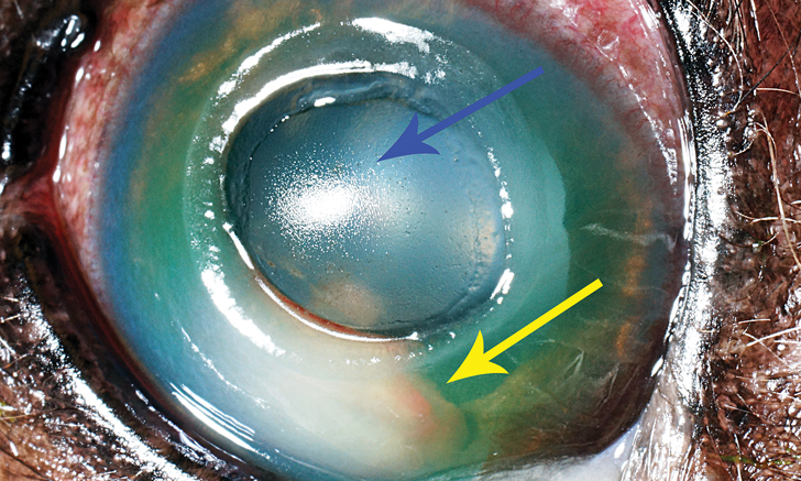 Top 5 Canine Ophthalmologic Emergencies