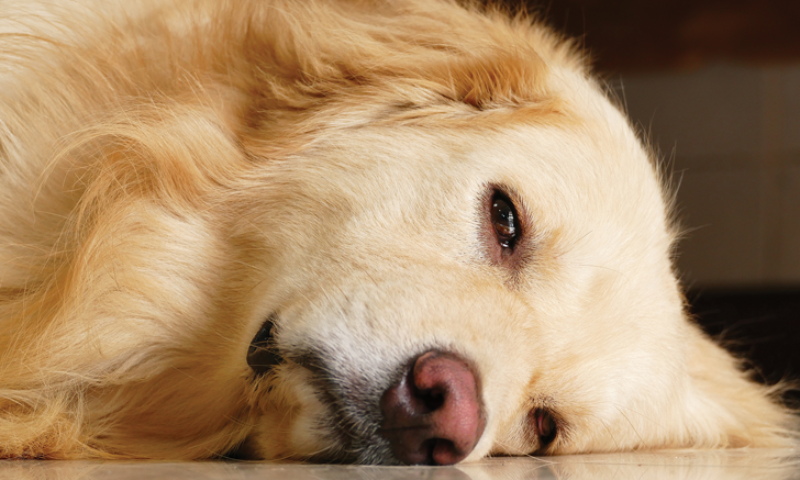 Acute Seizure in a Dog