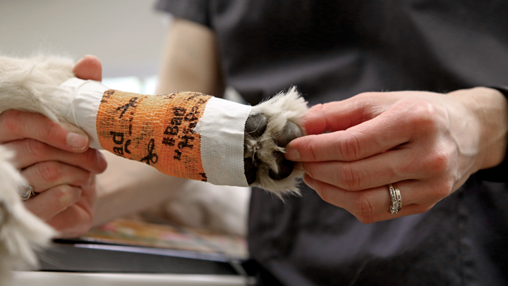 Clients should be shown how to check the pet's toes for warmth, color, and swelling when a limb is bandaged.