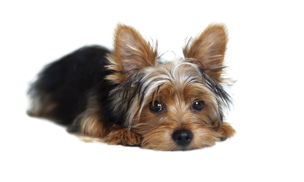 Poor Glycemic Control in a Diabetic Dog