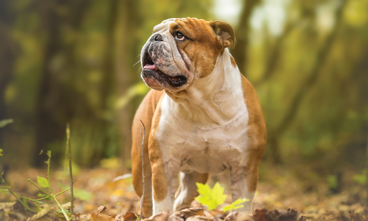 Ataxic Gait in an English Bulldog