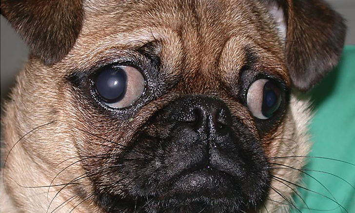 Top 5 Ocular Complications of Brachycephaly in Dogs