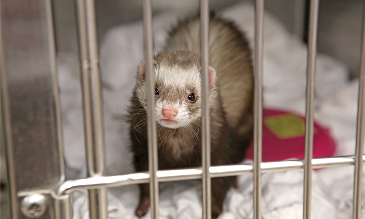 Top 5 Diseases of Domestic Ferrets