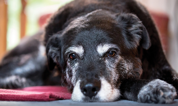 Quiz: Cognitive Dysfunction Syndrome in Dogs