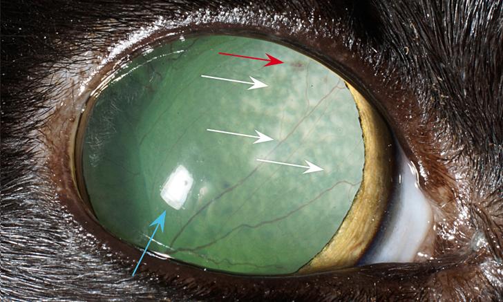 Image Gallery: Feline Fundus Diseases