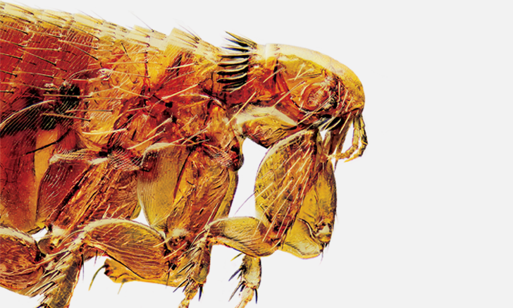 The Biting Facts About Fleas