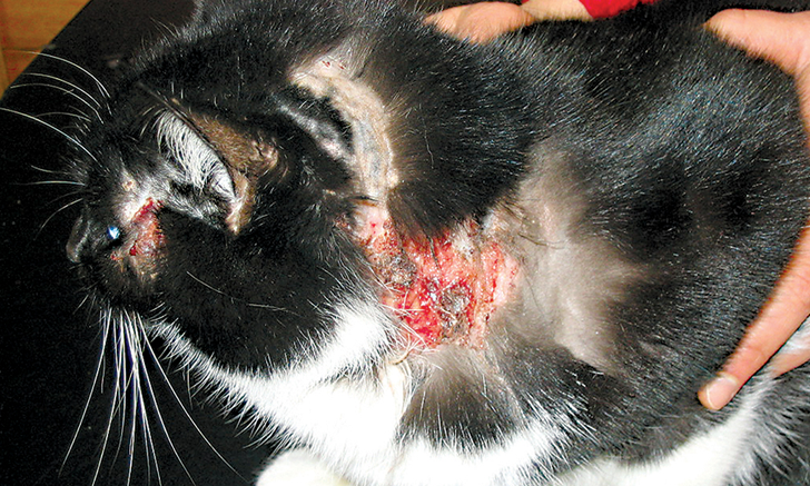 Feline Allergic Dermatitis (Feline Atopic Syndrome)