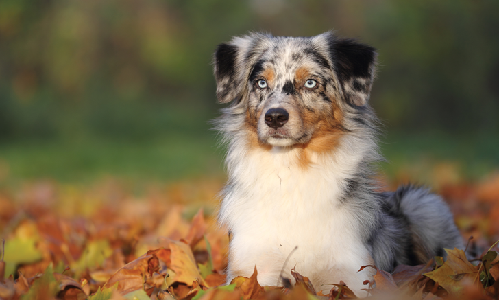 Xylitol Toxicosis in a Miniature Australian Shepherd Crossbreed