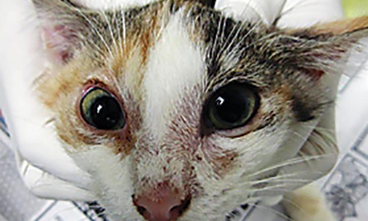 Feline Dermatophytosis