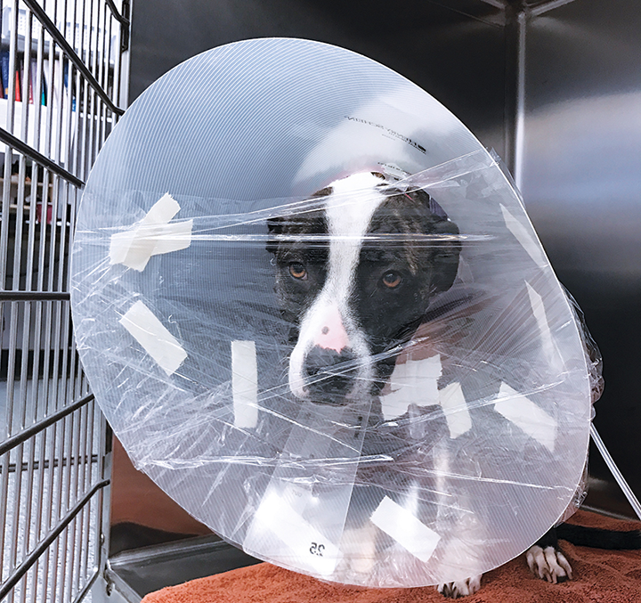 An oxygen hood created using an Elizabethan collar and plastic wrap can supply long-term oxygen support to any patient. Figures courtesy of Megan Brashear, CVT, VTS (ECC)