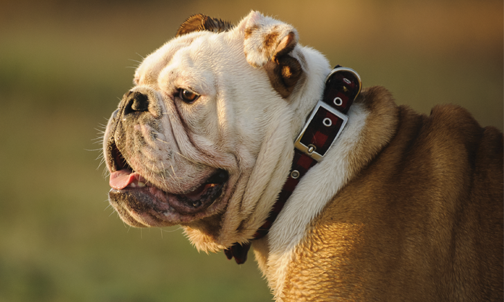 Anesthesia in an English Bulldog
