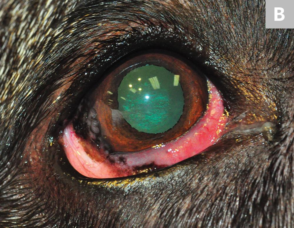 Left eye of a 9-year-old neutered male German shepherd dog. Thickened nictitans (ie, plasmoma) and lateral corneal infiltration can be visualized (A). Right eye of the same dog; nictitans swelling and lateral invasion of cornea can be noted (B). Photos courtesy of Tammy Miller Michau, DVM, MS, MSpVM