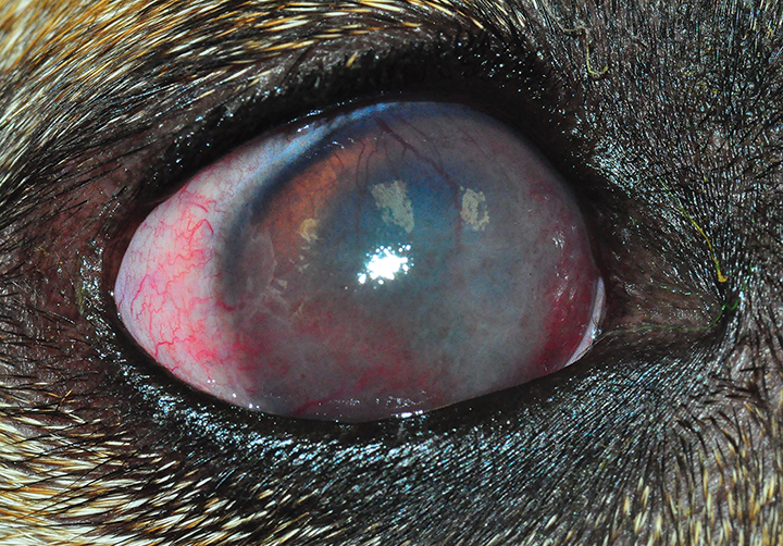 Eye of a 6-year-old spayed German shepherd dog. Diffuse corneal infiltration can be noted. Photo courtesy of Tammy Miller Michau, DVM, MS, MSpVM