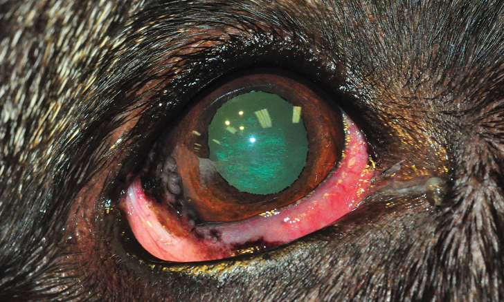 Chronic Superficial Keratitis in Dogs