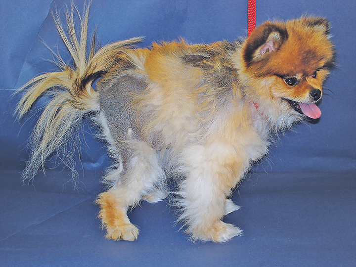 Alopecia X in a Pomeranian | Clinician's Brief