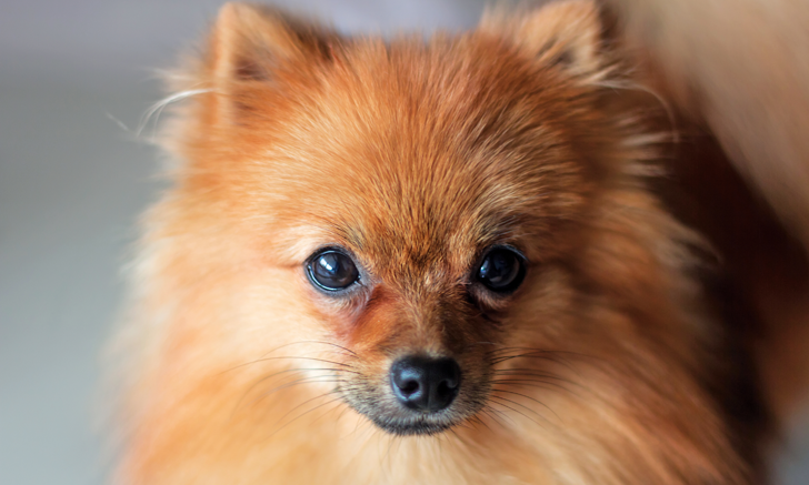 Alopecia X in a Pomeranian