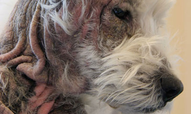 Poorly Controlled Pruritus in an Atopic Dog