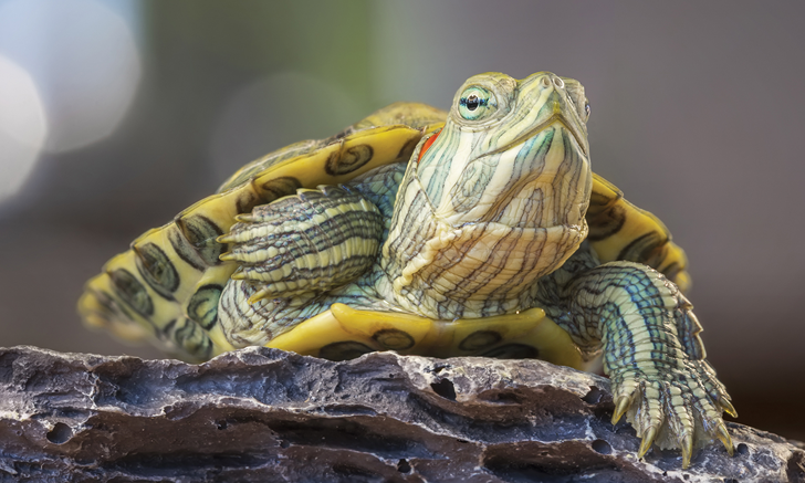 Do Pet Reptiles or Amphibians Pose Any Health Risks to Humans?