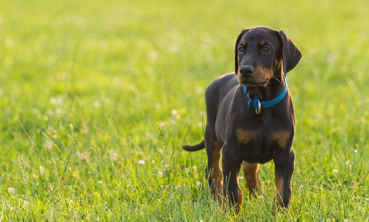 Health issues: Doberman genetic diseases