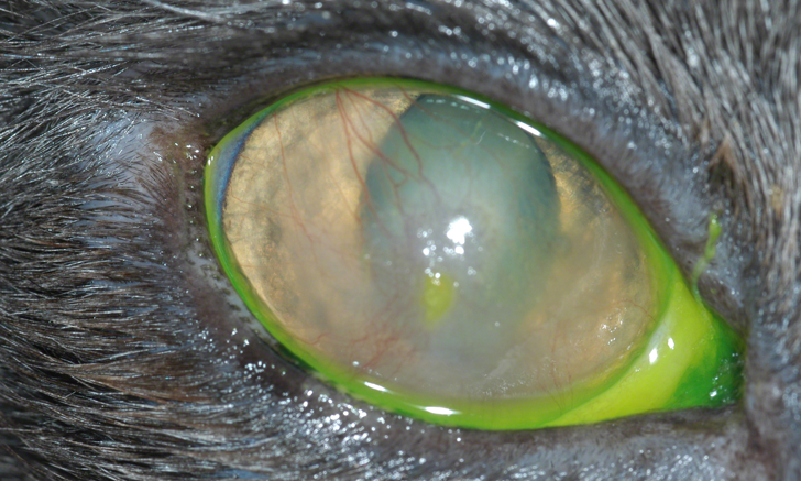 Image Gallery: Eosinophilic Keratitis in Cats