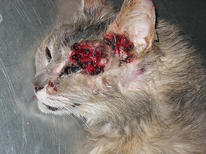 Ulceration, bleeding, alopecia, and hyperkeratotic plaques on the face of a cat with Bowen's disease caused by papillomavirus infection