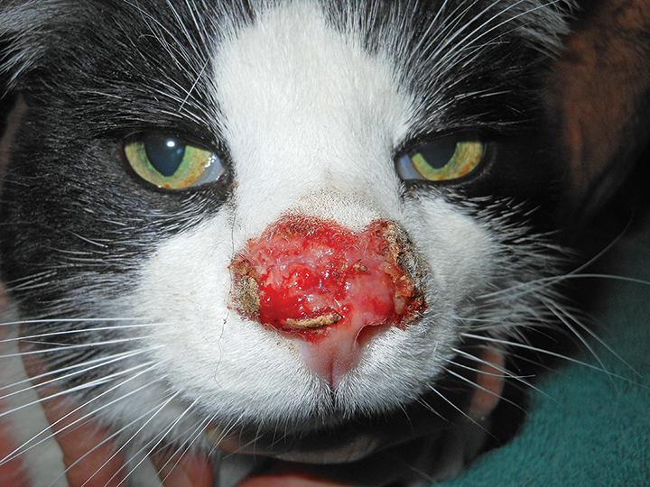Twelve-year-old domestic shorthair cat with FHV-1 dermatitis