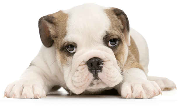 Elbow Pain in a Young English Bulldog