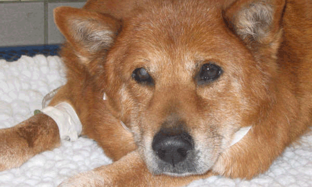 Protein-Losing Nephropathy & Lameness in a Dog