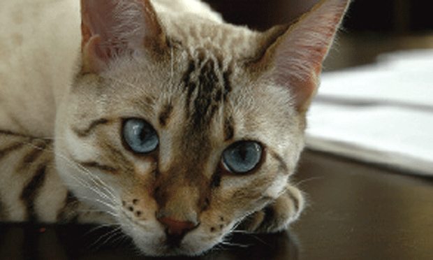 Lethargy, Inappetence, & Increased Respiratory Effort In A Cat