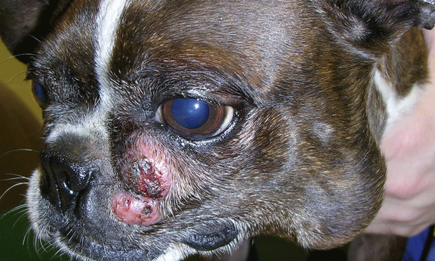 Diagnosis & Management of Canine Mast Cell Tumors