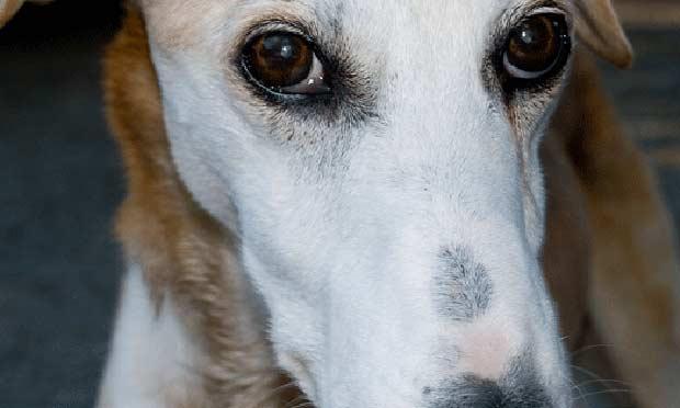 Naproxen Toxicosis in an Elderly Greyhound