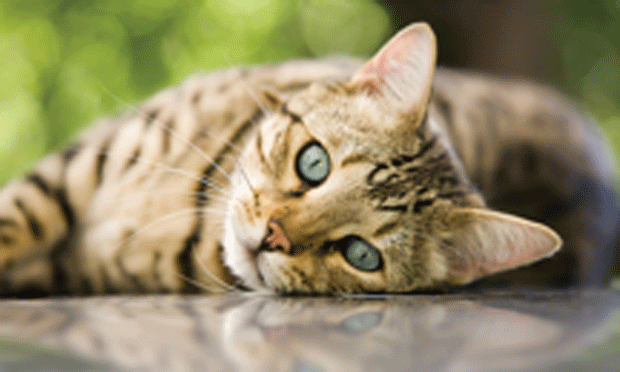 Feline Retrovirus Infection