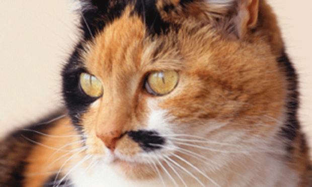 Feline Stomatitis