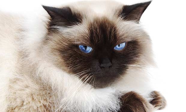 Chronic Diarrhea in a Himalayan Cat
