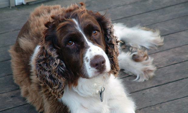 Treating Canine Immune-Mediated Polyarthritis (IMPA)