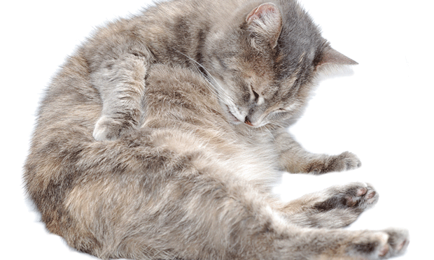 Diagnosing the Cause of Hairballs in Cats