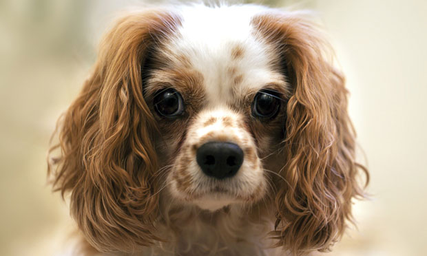 Macrothrombocytopenia in a Cavalier King Charles Spaniel
