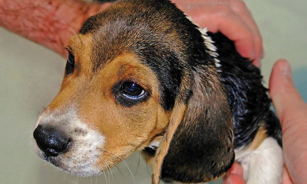 Ivermectin Toxicosis in Dogs