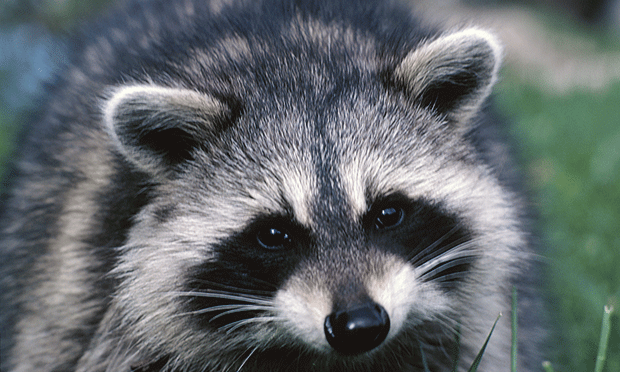 <em>Baylisascaris procyonis</em> & Raccoon Feces Ingestion