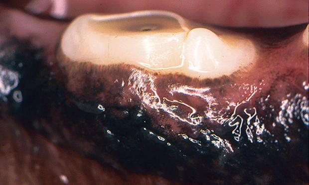 Tooth Resorption in Dogs