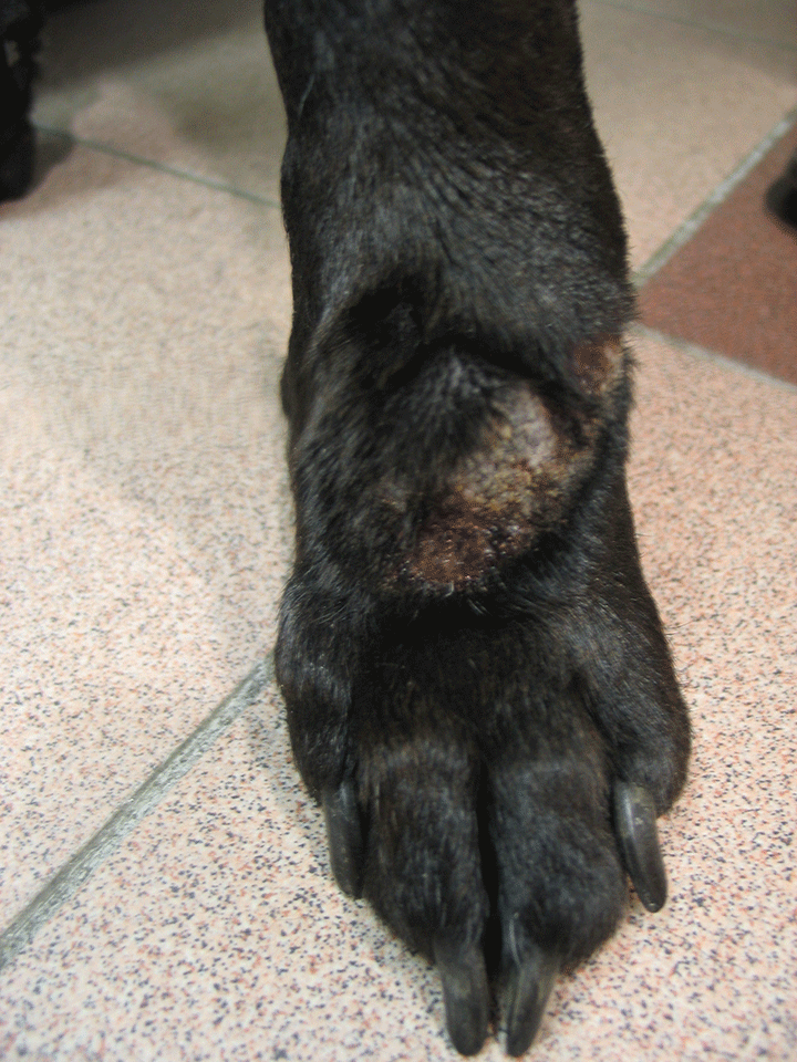 Canine lick sore granuloma from injury, fucking young ass gallery