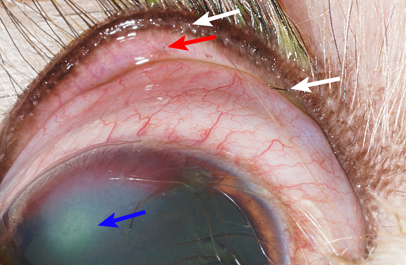 Image Gallery Canine Eyelid Diseases Clinicians Brief